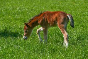 El caballo, fuerte desde el nacimiento