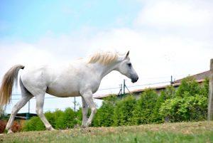 Métodos para la castración en los caballos