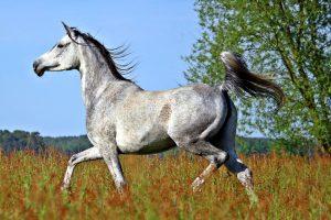 Menos huesos para los caballos árabes