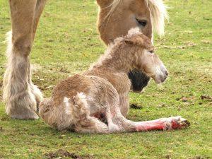 El parto en la yegua.
